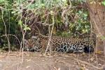 Unser erster Jaguar, zwar mit Peilsender und Silberblick, aber doch leibhaftig