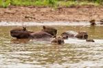 Capybara-Familie beim abkühlenden Bad