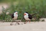 Schwarzmantel-Scherenschnäbel (Rynchops niger), Black Skimmer