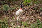 Jabiru (Jabiru mycteria), ein Storchenvogel