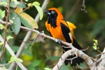 Orangerückentrupial (Icterus croconotus), Orange-Backed Troupial