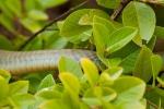 Natter (Chironius laurenti)