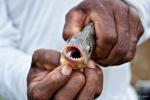 So klein und so scharfe Zähnchen - Piranha