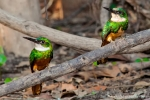 Rotschwanz-Glanzvogel (Galbula ruficauda), Rufous-Tailed Jacamar