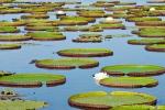 Riesenseerosen (Victoria amazonica), Giant water lilies