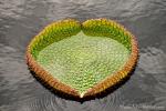 Blatt einer Riesenseerose (Victoria amazonica), Giant water lilies
