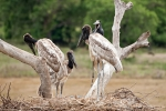 Familie Jabiru im Nest