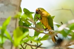 Goldstirnsittich (Aratinga aurea), Peach-Fronted Parakeet