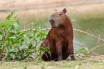 Capybaras oder auch Wasserschweine (Hydrochoerus hydrochaeris) - die größten Nagetiere der Welt