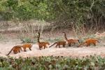 Südamerikanische Nasenbären-Familie (Nasua nasua), South American Coati