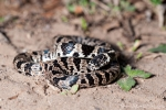 Natter (Sibynomorphus Turgidus), Bolivian tree snake