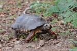 Köhler- oder Rotfußschildkröte (Chelonoidis carbonaria), Red-footed Tortoise