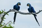 Hyazinth-Aras (anodorhynchus, hyacinthus), Hyacinthine macaws