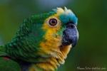 Blaustirnamazone (Amazona aestiva), Turquoise-Fronted Amazon
