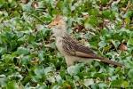 Guirakuckuck (Guira guira), Guira Cuckoo