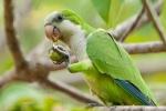 Mönchssittich (Myiopsitta monachus), Monk Parakeet