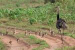 Nandu (Rhea americana) mit 24 Küken, Greater Rhea
