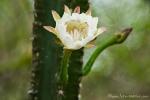 "Blüte des Kaktus ""Mandacarú"" (Cereus jamacaru)"