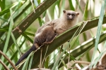 Schwarzschwanz-Seidenäffchen (Callithrix melanura), Black-tailed marmoset