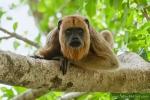Weibchen und Nachwuchs der Schwarzen Brüllaffen (Alouatta caraya), Black Howler Monkey