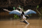 Schlangenhalsvogel (Anhinga anhinga), Anhinga