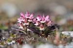 Behaartes Läusekraut (Pedicularis hirsuta)