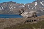 Rentier (Rangifer tarandus) mitten in Longyearbyen