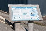 Küstenseeschwalbe (Sterna paradisaea - Arctic Tern)
