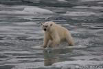 Eisbär (Ursus maritimus) auf dünnem Eis