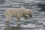 Mit der Pfote wird die Haltbarkeit des Eises geprüft