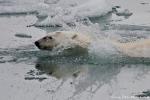 Eisbären (Ursus maritimus) sind erstaunlich gute Schwimmer