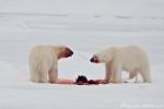 Zwei Eisbären am gleichen Riss