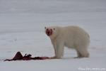 Eisbär - ziemlich dick gefressen