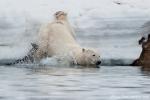 Eisbär in der Bucht von Sallyhamna