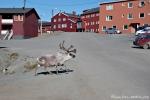 Ein Rentier mitten in Longyearbyen