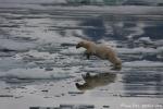 Eisbär (Ursus maritimus)