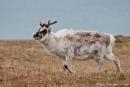Rentier (Rangifer tarandus) in der Arktischen Tundra