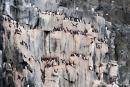 Große Kolonie von Dickschnabellummen (Uria lomvia) auf den Basaltklippen von Alkefjellet