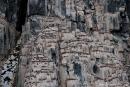 """Bis zu über 100 Meter hohe Basaltklippen des """"Lummenberg"""", in dem unzählige Dickschnabellummen brüten"""