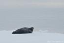Eine Robbe aalt sich auf dem Packeis