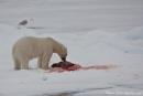 Eisbär, der eine Robbe gerissen hat