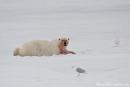 Satt und zufrieden - Eisbär (Ursus maritimus)