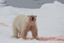 He, wo ist mein Futter? - Eisbär (Ursus maritimus)