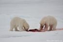 Ziemlich ungewöhnlich, dass sich zwei fremde Bären das Futter teilen