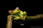 Palm-Baumfrosch (Hypsiboas pellucens), Palm Treefrog