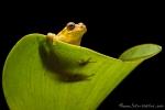 Regenfrosch (Dendropsophus carnifex), Executioner Clownfrog