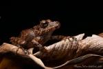 Regenfrosch (Pristimantis achatinus), Spring Rainfrog