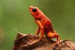 Giftfrosch (Oophaga sylvatica), Little-Devil Poison Frog
