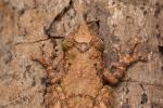 Baumfrosch (Scinax garbei), Shovel Snouted Treefrog