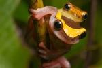 Oberer Amazonas Baumfrosch (Dendropsophus bifurcus), Royal Clownfrog